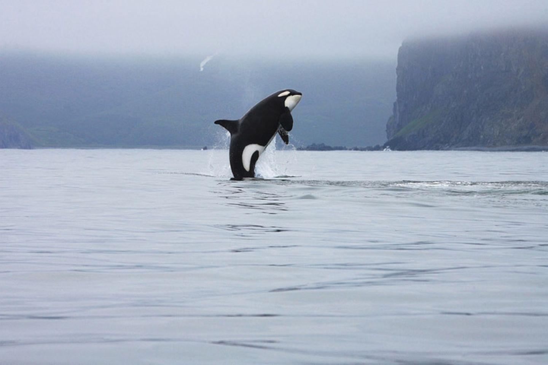 Tierlexikon: Orcas - also Schwertwale - sind die größten Vertreter der Delfine