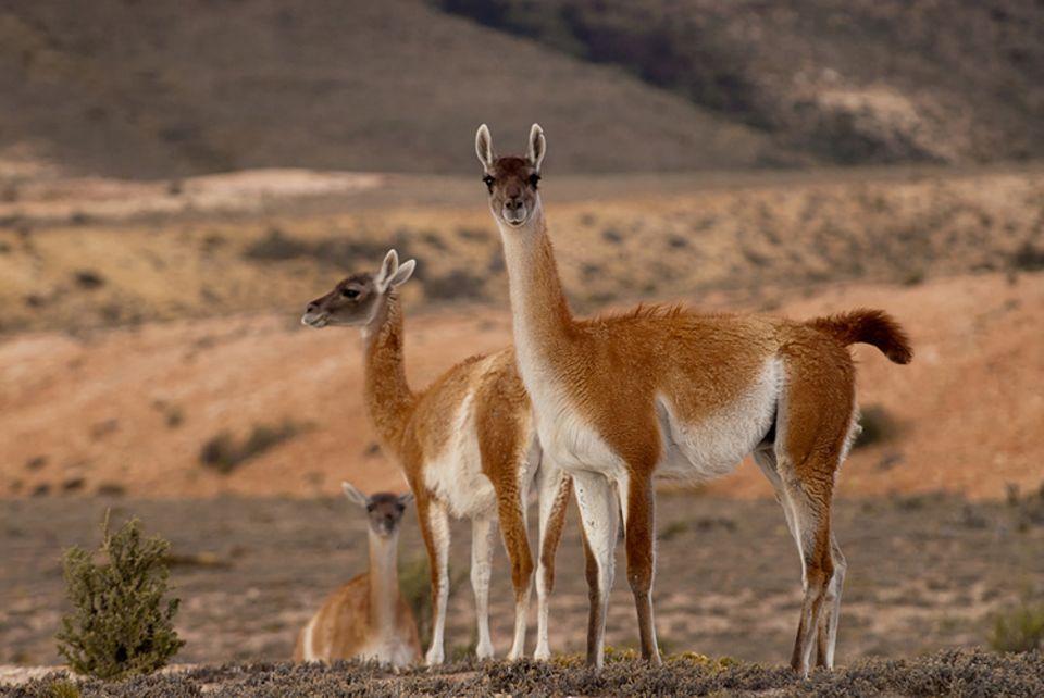 Tierlexikon: Ein Guanako ist im Gegensatz zu einem Alpaka ein Wildtier