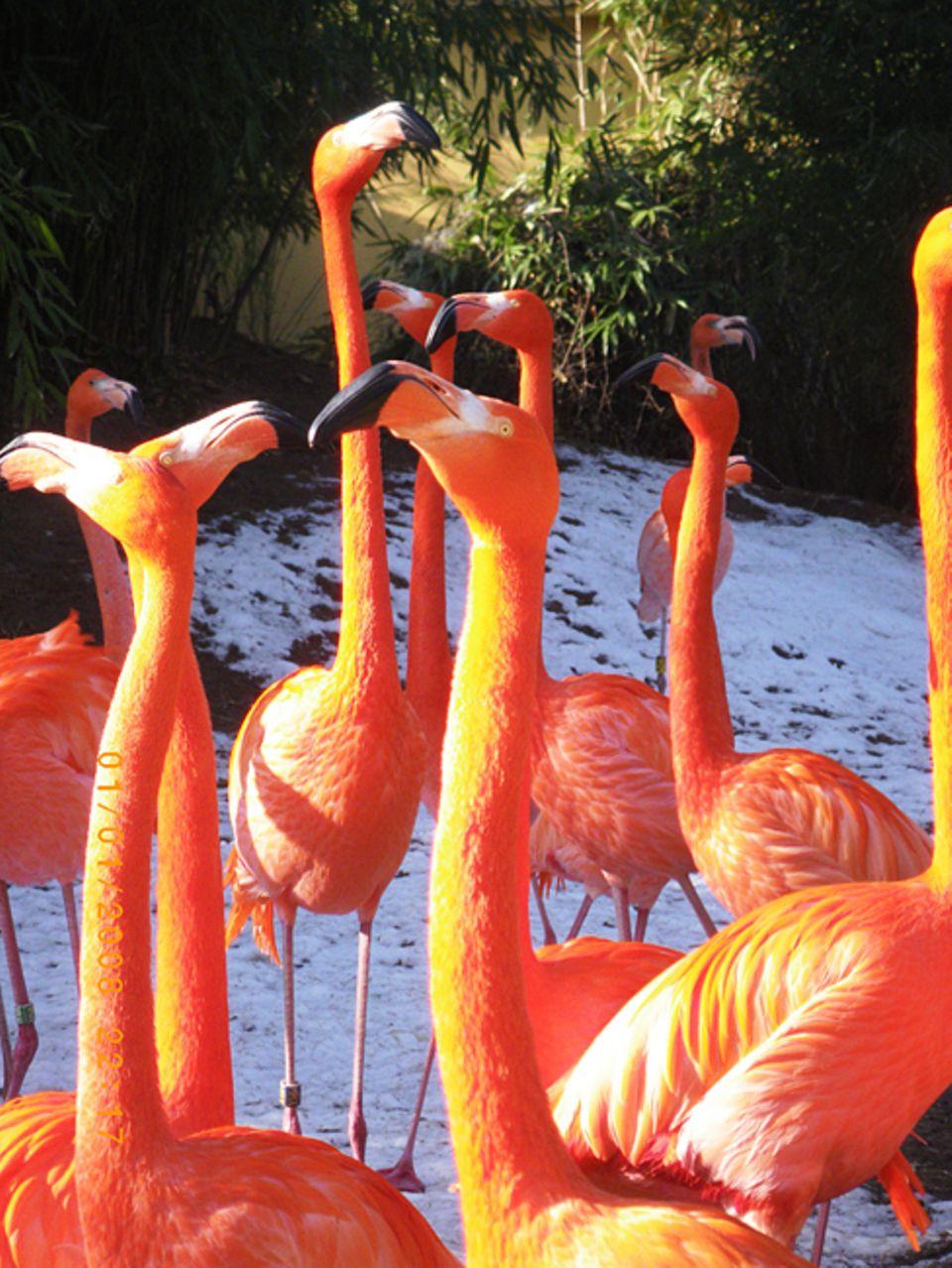 Tierlexikon: Ein Flamingo isst kopfüber