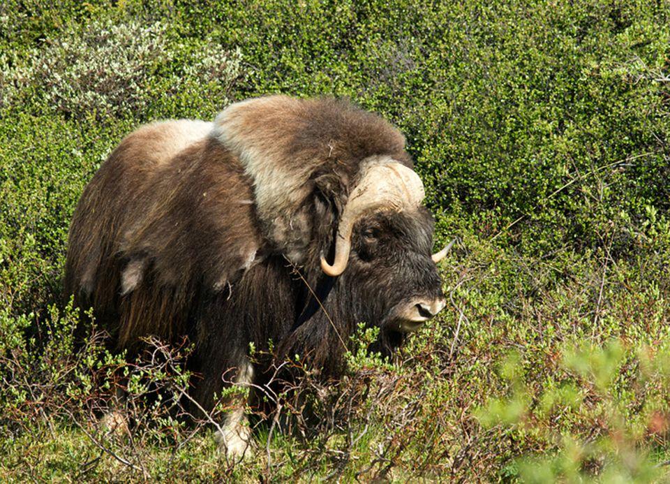 Tierlexikon: Moschusochsen leben im Norden Grönlands, Kanadas und Alaskas