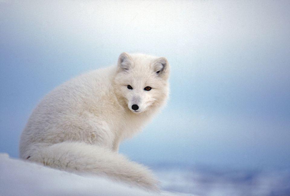 Tiere: Im Winter trägt der Polarfuchs ein dickes, weißes Fell, anders als im Sommer
