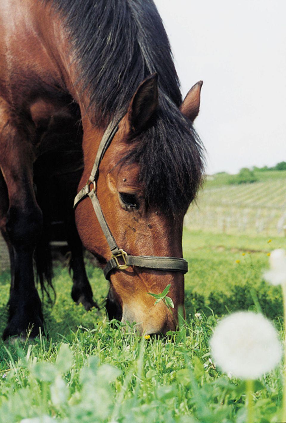 Tiere: Pferde schwirtzen wenn ihnen zu warm ist - das ist wie bei uns Menschen
