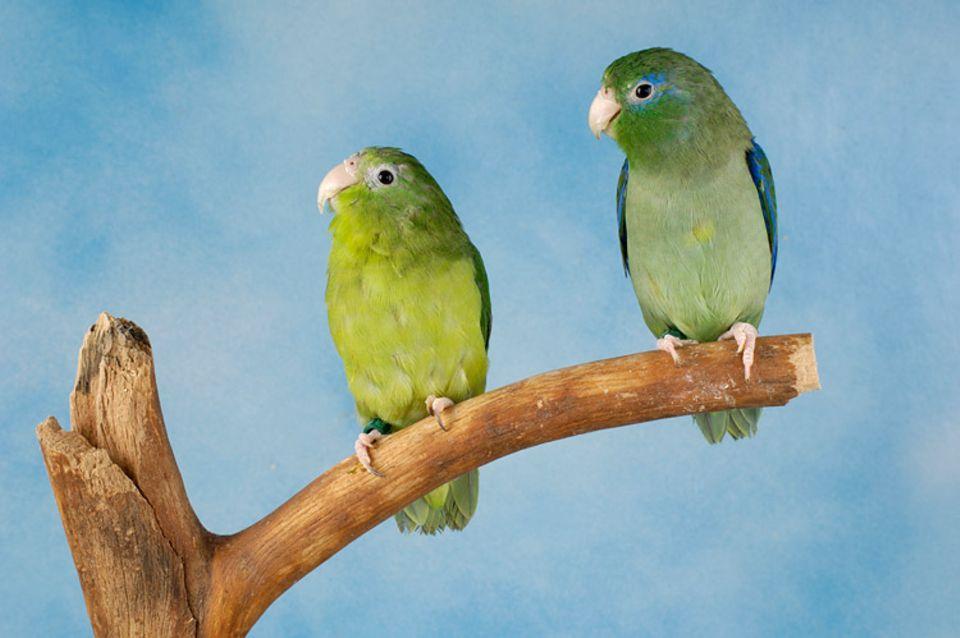 Tierlexikon: In Südamerika ist der Augenring-Sperlingspapagei zu Hause
