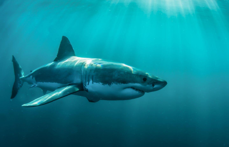 Tierlexikon: Der weiße Hai kann bis zu zwei Tonnen schwer werden!
