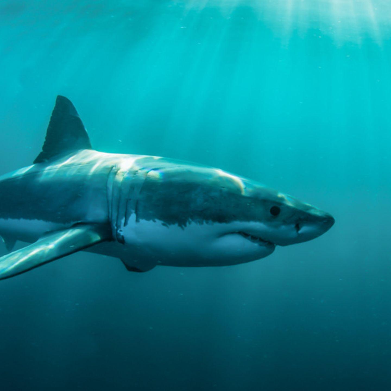 Der Weiße Hai - Infos im Tierlexikon - [GEOLINO]