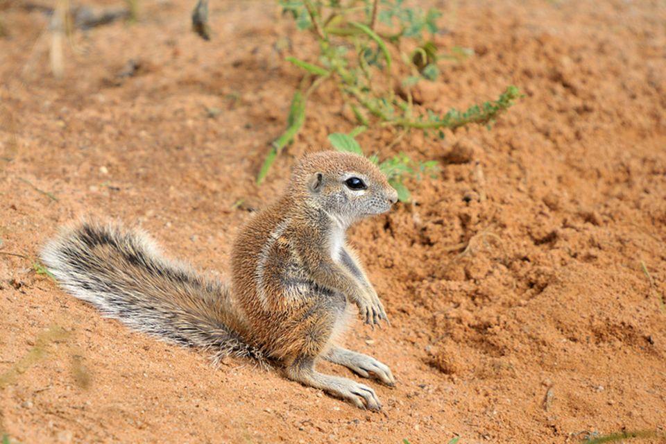 Tierlexikon: Das Kap-Borstenhörnchen ist entfernt mit unserem Eichhörnchen verwandt