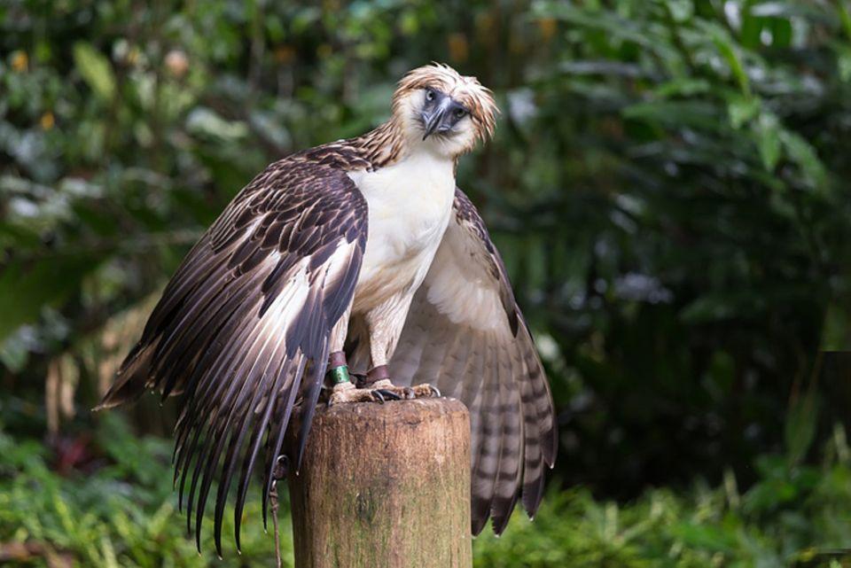 Tierlexikon: Der Philippinenadler nistet in den Baumwipfeln des Regenwaldes