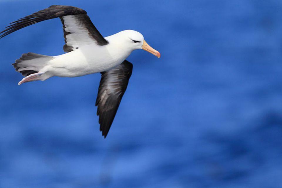 Tierlexikon: Einem Albatros begegnet man eher auf der Süd- als auf der Nordhalbkugel