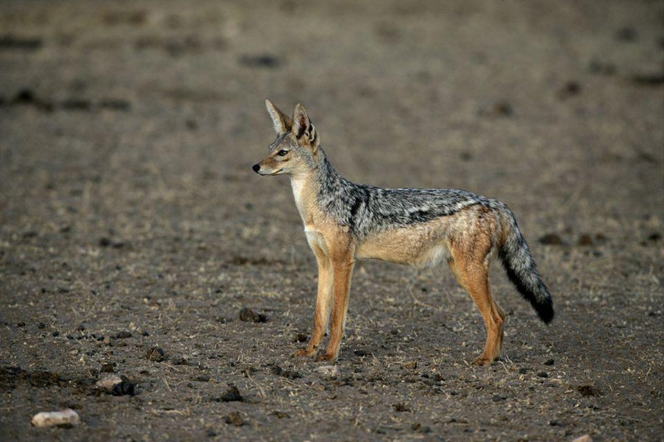 Tierlexikon: Schabrackenschakale sind in Afrika zu Hause