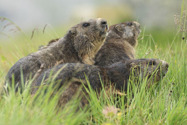 Tierlexikon: Das Alpenmurmeltier ist nah verwandt mit den Eichhörnchen