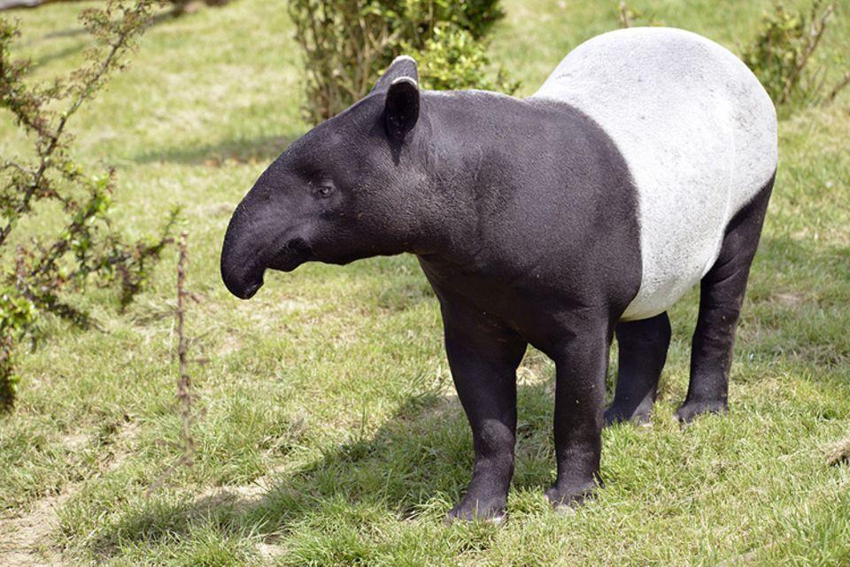 Tierlexikon: Habt ihr schon einmal einen Tapir im Zoo gesehen?