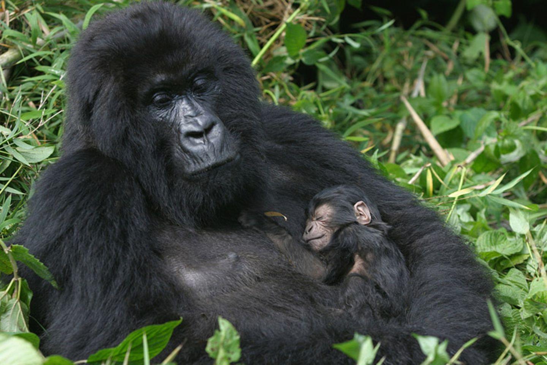 Tierlexikon: Der Berggorilla ist der größte Affe der Erde