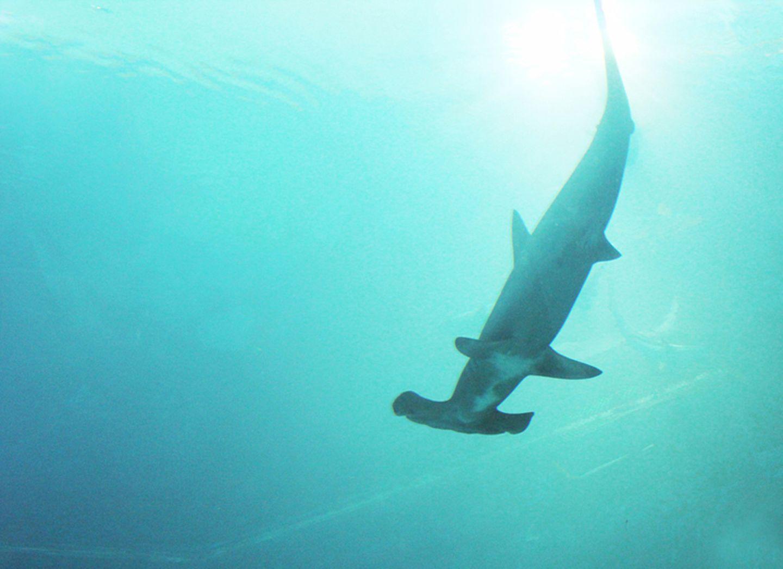 Tierlexikon: Hammerhaie gibt es in vielen Regionen der Welt