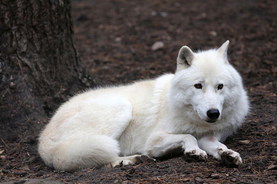 Tierlexikon: Ein Polarwolf hat ein schneeweißes Fell