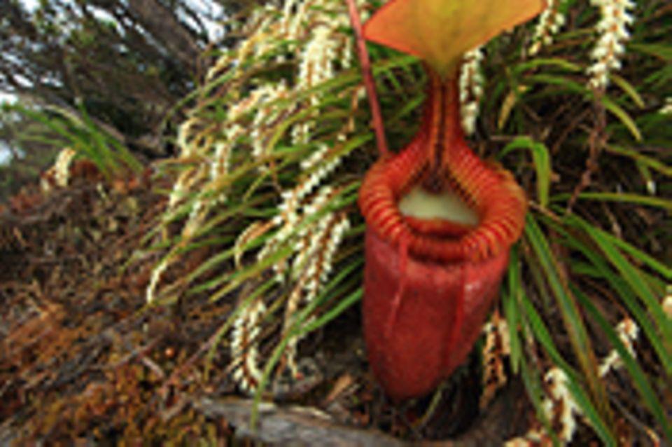 Video: Fleischfressende Pflanzen