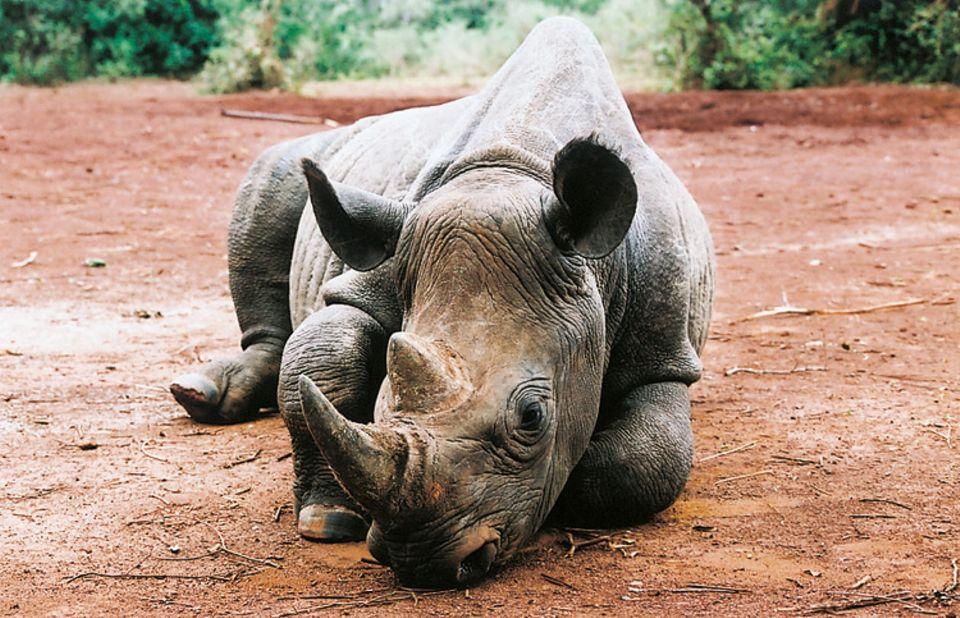 Tierlexikon: Das Spitzmaulnashorn ist wegen seines Horns sehr begehrt bei Wilderern