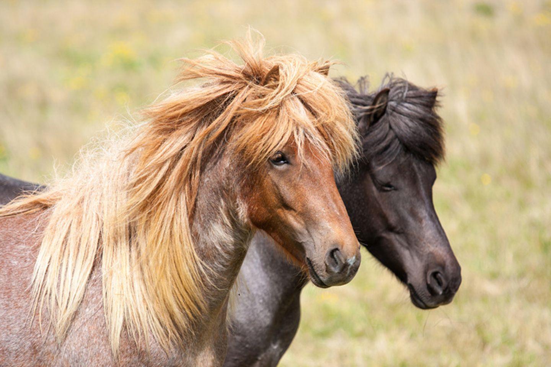 Tierlexikon: Die meisten Islandpferde gehören aufgrund ihrer Größe zu den Ponys. Heute gibt es weltweit über 300.000 Islandpferde