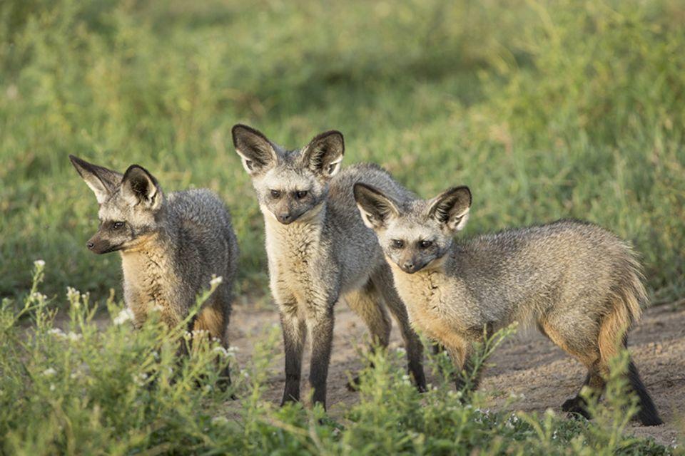 Tiere: Löffelhunde sind etwas kleiner als Rotfüchse