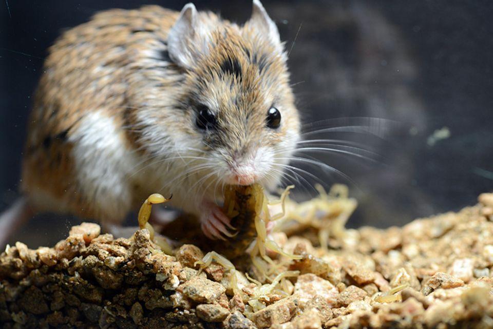 Tierlexikon: Liebend gerne frisst die Grashüpfermaus kleine Skorpione