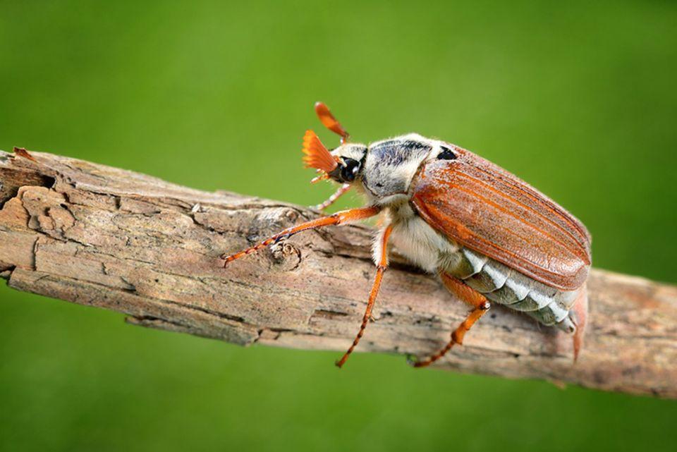 Tierlexikon: Käfer gibt es in unzähligen Größen und Farben - sie bilden die größte Gruppe im Tierreich