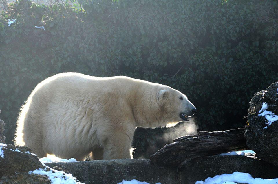 Tierlexikon: Eisbären haben eine schwarze Haut