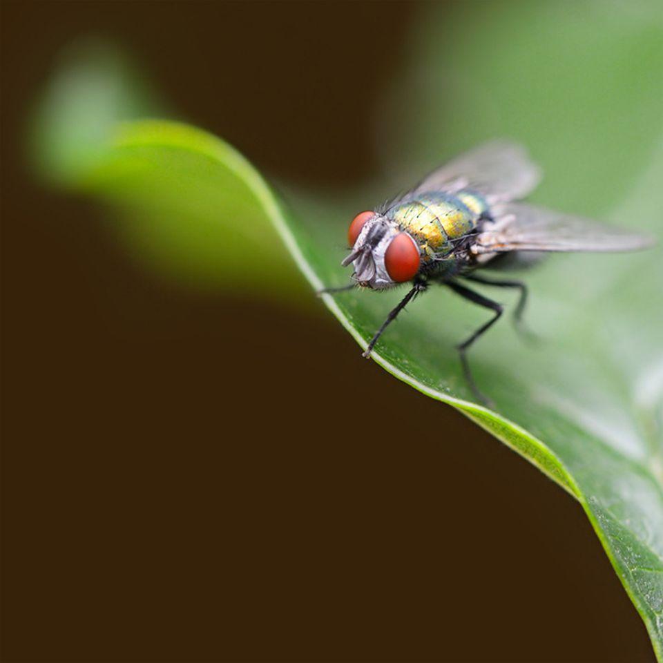 Tierlexikon: Schmeißfliegen findet man fast überall auf der ganzen Welt