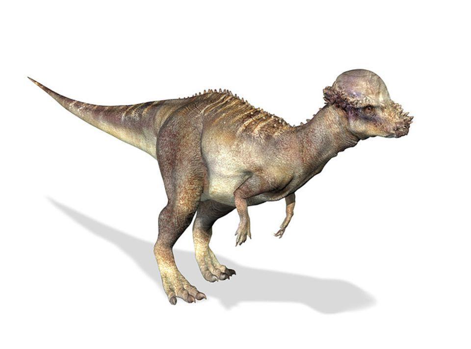 Tierlexikon: Der Pachycephalosaurus konnte sich mit seinem Knochenwulst gut wehren