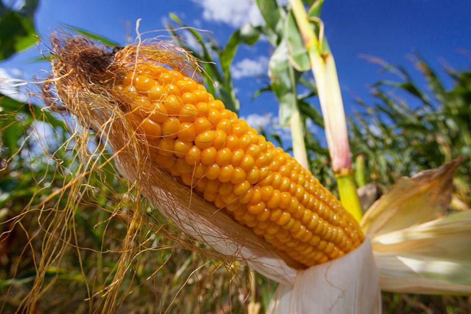"""Ernährung: Mittels """"grüner Gentechnik"""" konnten Wissenschaftler Pflanzen verändern. Aber ist es ungefährlich in die Gene der Pflanzen einzugreifen?"""