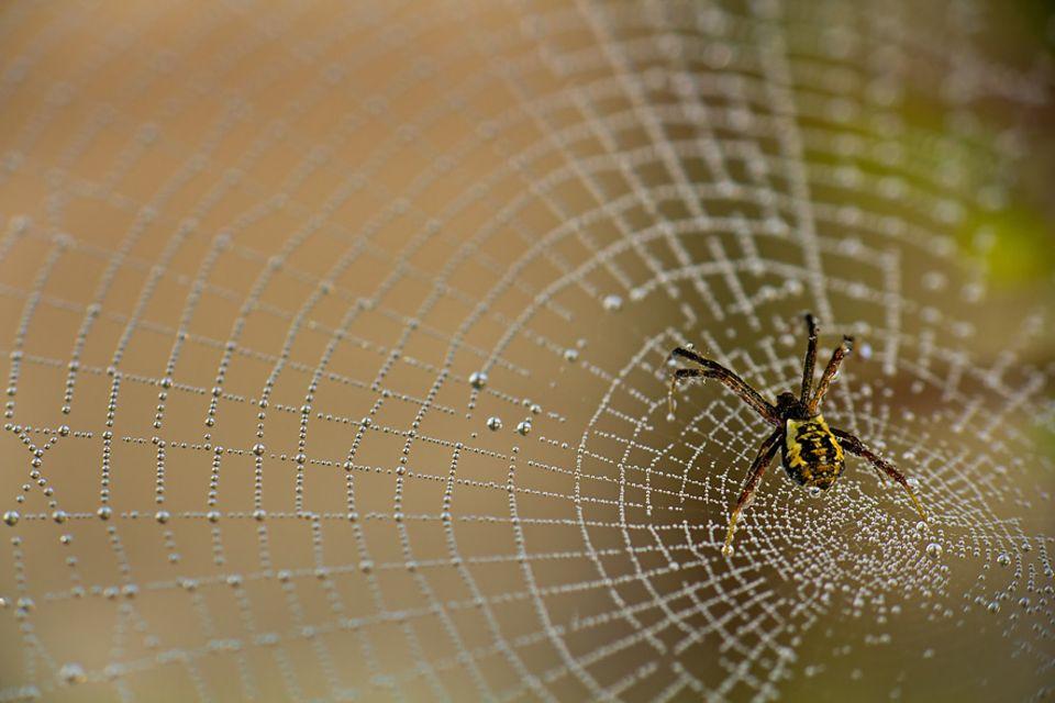 Umwelt: Die Netze vieler Spinnen sind kurzlebige Kunstwerke von erstaunlicher Regelmäßigkeit. Normalerweise