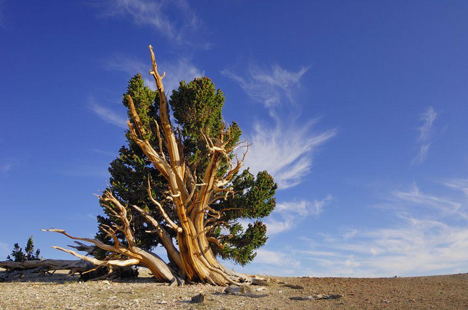 Wunder der Botanik: Pflanzen können lange überdauern, wenn die Stammzellen in den Wachstumsspitzen ihrer Triebe immer weiter aktiv bleiben. Das älteste Exemplar der Kiefernart Pinus longaeva zählt 5066 Jahre und steht im Inyo National Forest, Kalifornien