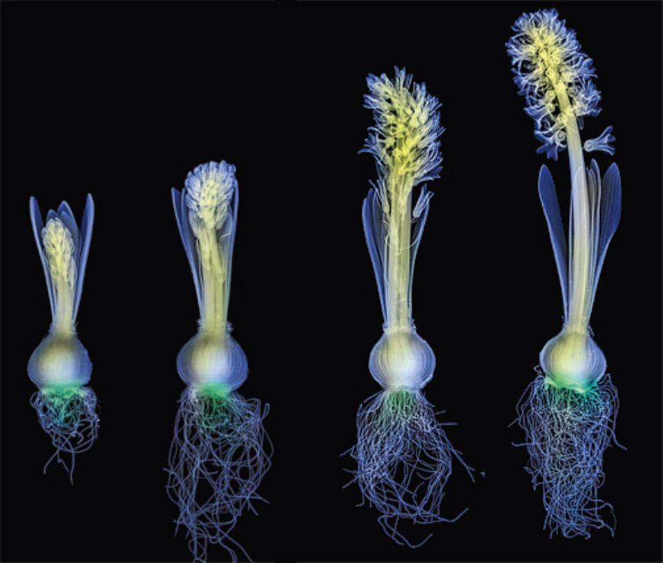 Pflanzen: Spielt sich in Gewächsen womöglich mehr ab, als wir glauben? Können die grünen Wesen fühlen oder gar denken? Diese eingefärbten Röntgenaufnahmen von Hyazinthen in verschiedenen Wachstumsstadien versinnbildlichen die uns so fremdartig erscheinende Welt der Pflanzen. Mit speziellen Zellen erkennen sie etwa, wohin ihr Spross wächst und ihr Wurzelgeflecht sprießt, um gegebenenfalls deren Richtung zu korrigieren