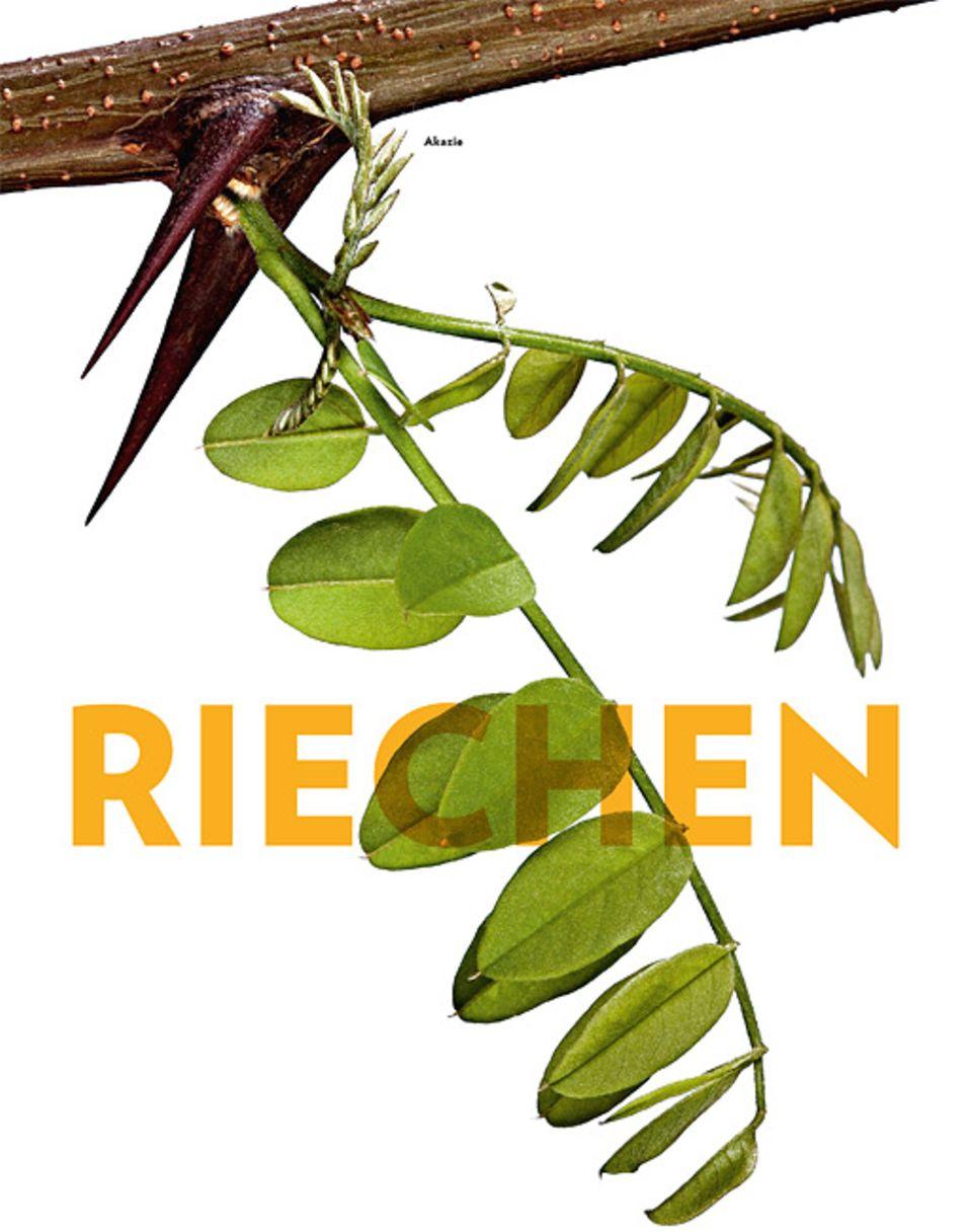 Pflanzen: Akazie