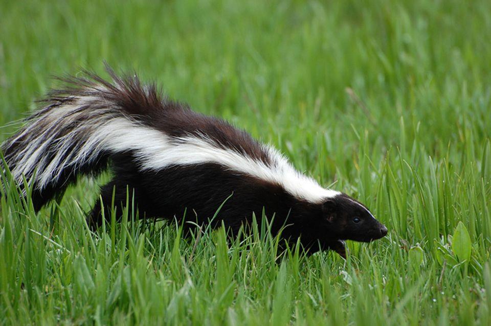 Tierlexikon: Stinktiere sind absolute Allesfresser