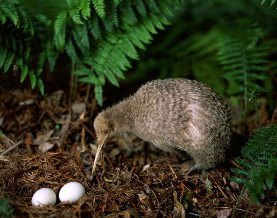 Tierlexikon: Der Kiwi ist der kleinste Vertreter der Laufvögel.
