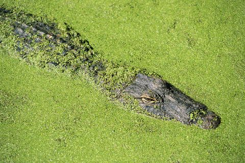 Jagdstrategie: Trickreiche Krokodile