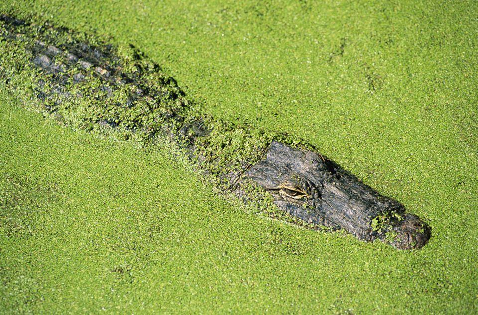 Jagdstrategie: Krokos tarnen sich mit organischen Materialien aller Art - auch mit Stöcken