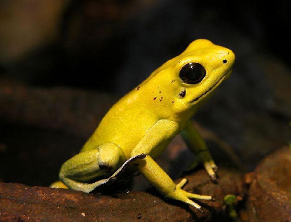 Tiere: Goldener Pfeilgiftfrosch