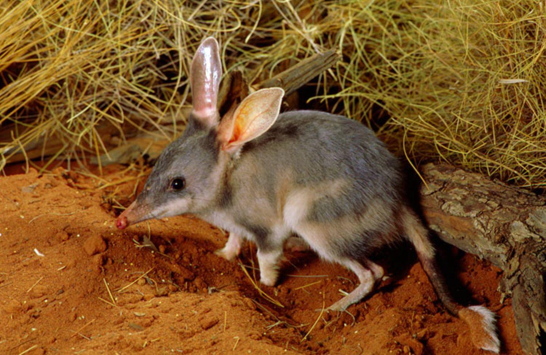 Bilby: Der Bilby geht auch als Mini-Känguru durch: Schwanz und Hinterbeine erinnern an die Säuger. Tatsächlich sind die großen und kleinen Hüpfer verwandt
