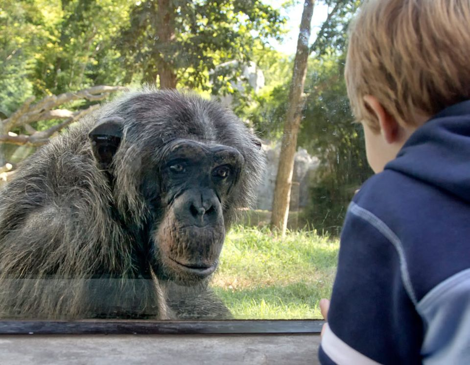 Tierrechte: Schimpansen sind intelligente, sozial lebende Tiere. Sie unterscheiden sich im Erbgut nur minimal von Menschen. Dürfen wir sie gegen Geld zur Schau stellen?