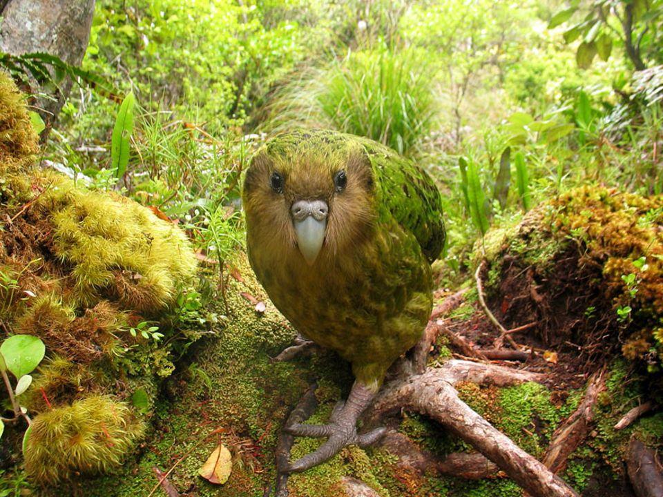 Artenschutz: Seltsamer Vogel: Der neuseeländische Kakapo kann nicht fliegen und vermehrt sich kaum