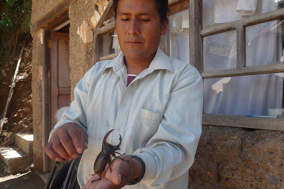 """Für ein Exemplar der Käferart """"Dynastes satanas"""" bekommt Porfirio Mamani etwa 150 US-Dollar"""