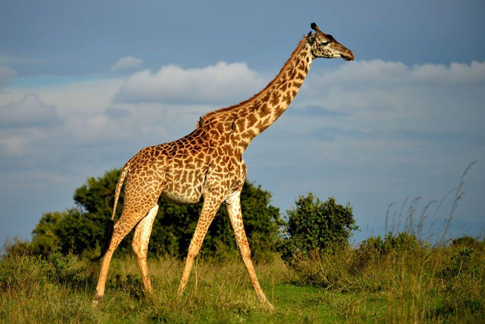 Tierlexikon: Giraffen sind Wiederkäuer wie unsere heimischen Kühe