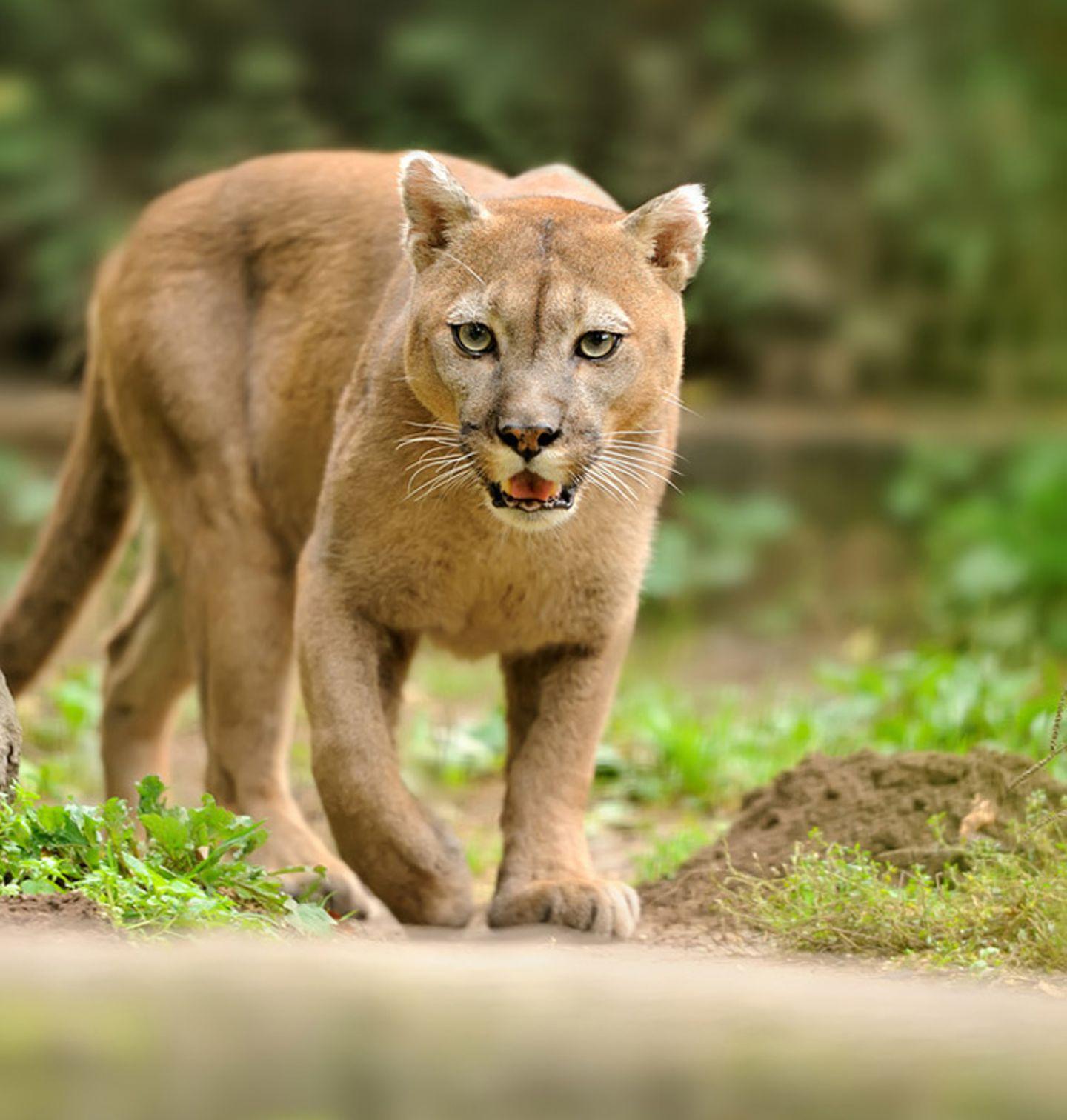 Tierlexikon: Ein Puma hat mehr mit einer Hauskatze als mit einem Löwen gemeinsam