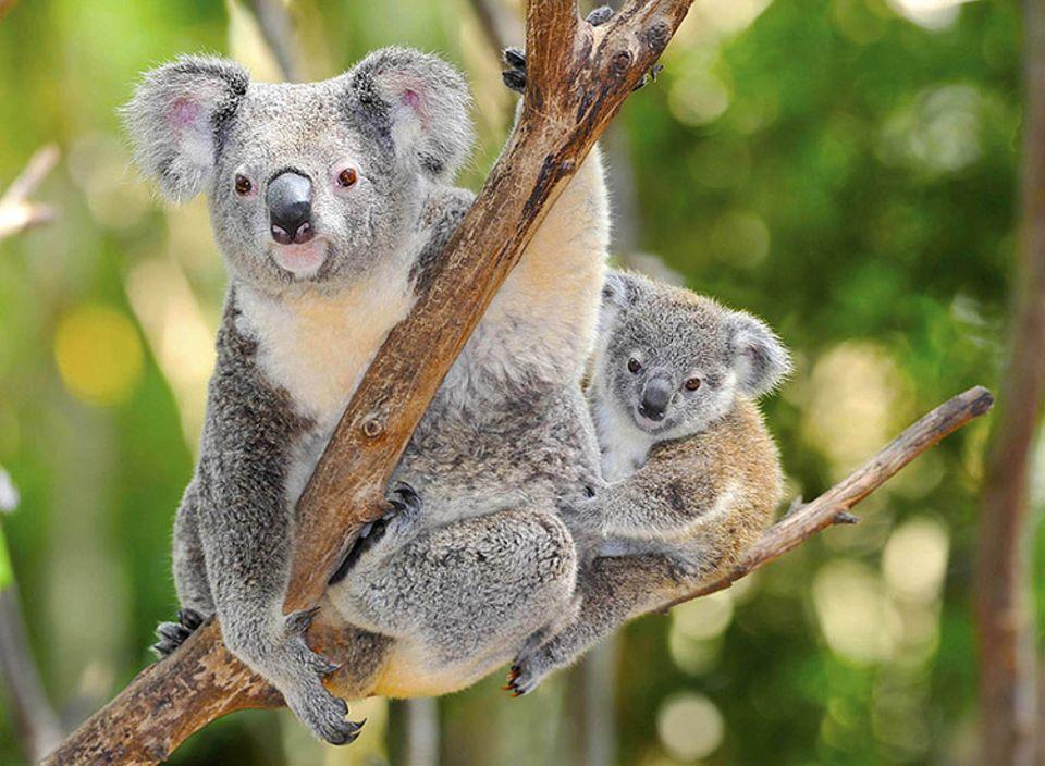 Tierlexikon: Koalas leben auf Bäumen und schlafen bis zu 22 Stunden am Tag