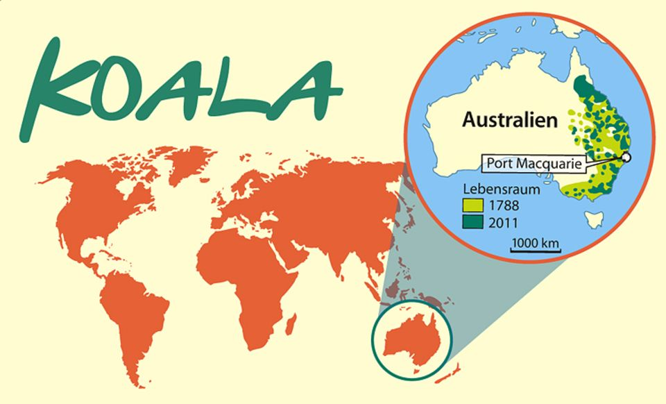 Tierlexikon: Koalas leben an der Ostküste Australiens