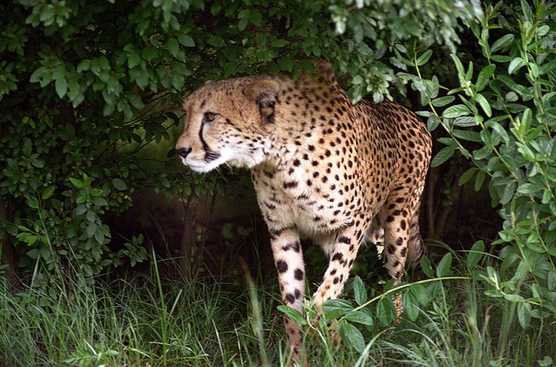 Tierlexikon: Ein Gepard zählt nicht zur Unterart der Großkatzen