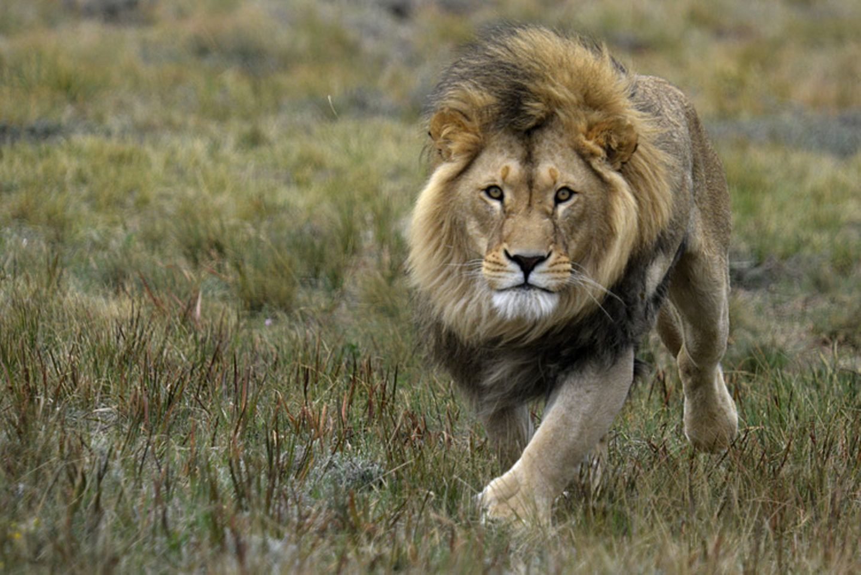 Tierlexikon: Der Löwe ist die einzige Raubkatze, die in Gruppen lebt