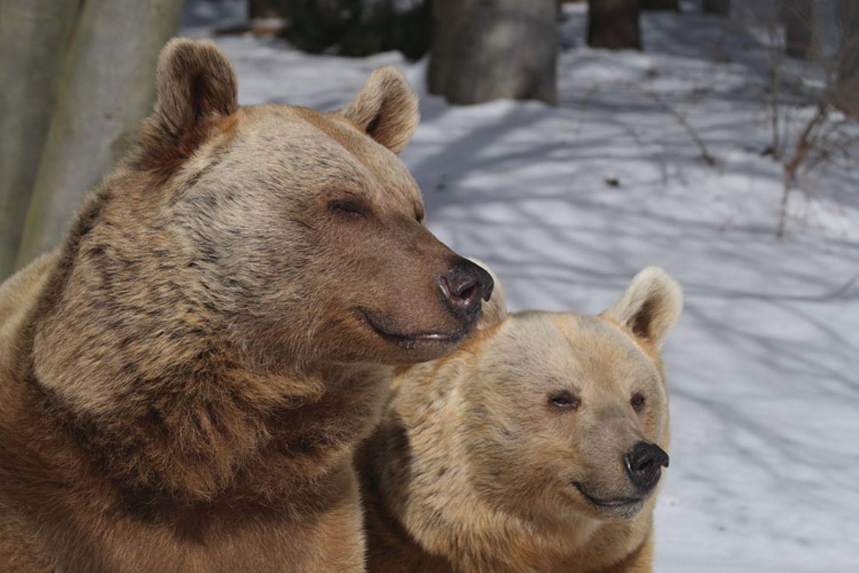 Tierlexikon: Der Braunbär sieht zwar aus wie ein Teddy - ist aber alles andere als ein Schmusetier!