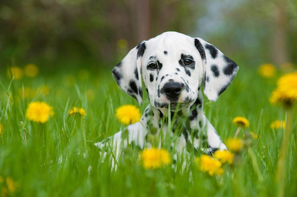 Hunde: Dalmatiner