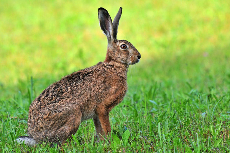 Tierlexikon: Der Feldhase (Lepus europaeus) lebt in vielen Teilen der Erde
